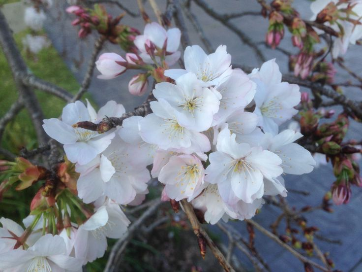 Sept 2015, spring has sprung! Our weeping cherry has awoken from her slumber.