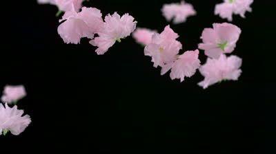 Cherry blossom flowers falling shooting with high speed camera, phantom flex.
