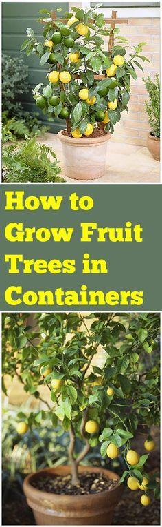 Como Crecer Arboles Frutales en Macetas