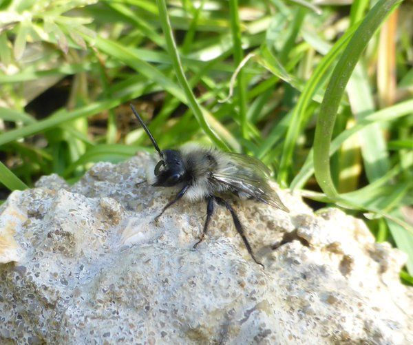 Ashy Mining Bee's make the grass bank in garden home every spring.   FrogPie-Creations (@frogpiecreation) | Twitter