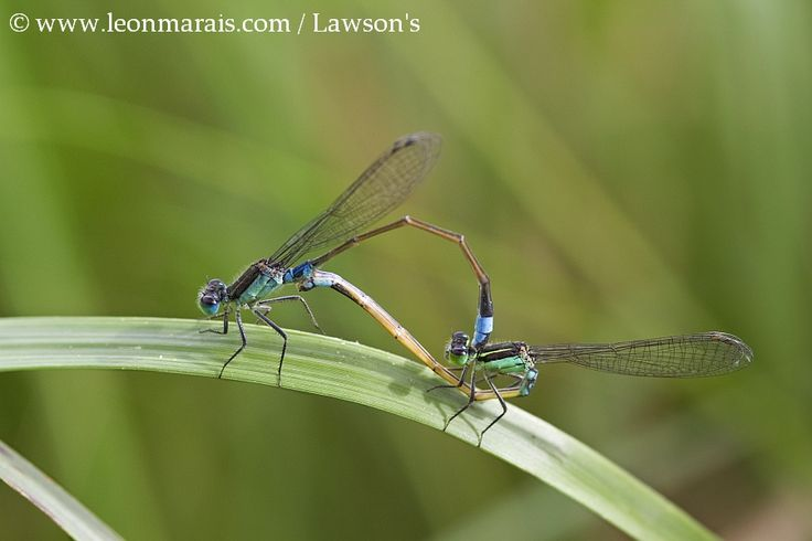 Common Bluetails Copulating.