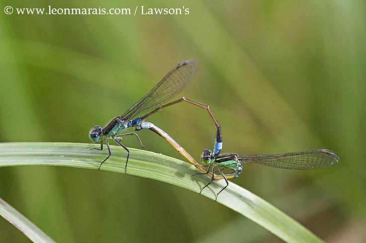 Common Bluetails Copulating.