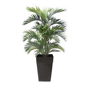 Palmier Areca 6'