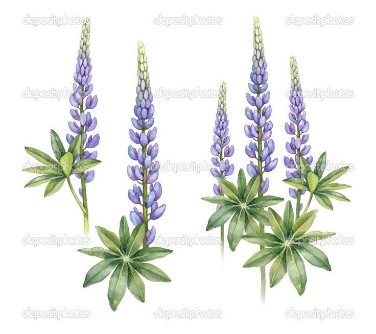 дикие цветы люпина - Стоковое изображение: 44580441