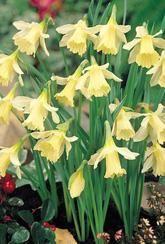 Narcissus W P Milner - Daffodil Bulbs