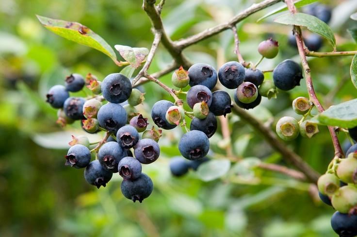 Blueberry Orchards - Mamaku Blue Blueberry Experience, Rotorua - www.mamakublue.co.nz