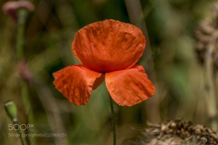 Poppy flowers (Igor  Sikorsky / Armavir / Russia) #ILCA-77M2 #macro #photo #insect #nature