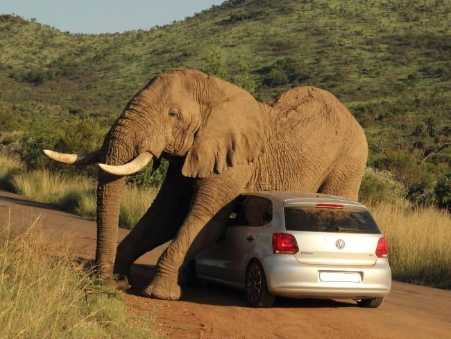 tourists on safari were stunned when this testosterone-charged elephant used their hatchback to scratch an itch.