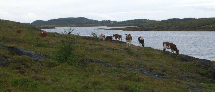 Storfe på beite i kystlynghei, Blomsøya i Alstahaug kommune. Foto: Bioforsk Nord Tjøtta