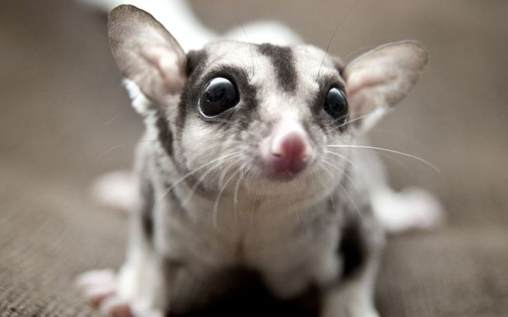 What Do Sugar Gliders Eat: Feeding A Pet Sugar Glider