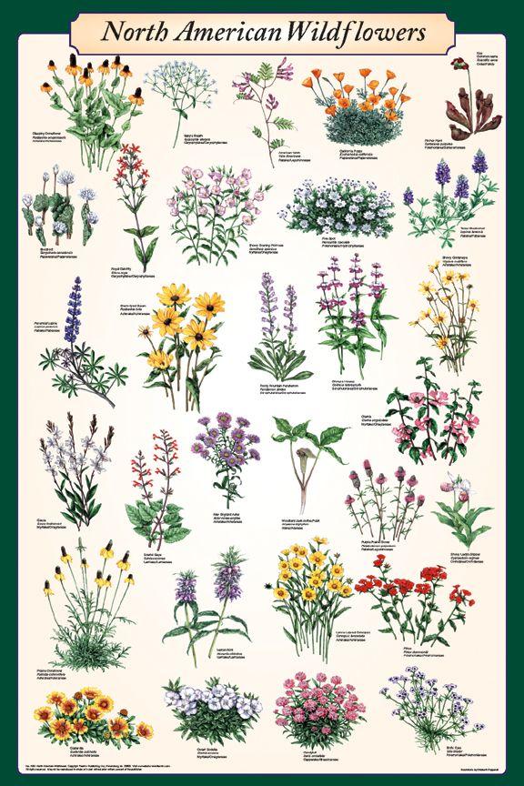 North American Wildflowers Poster - Flower Posters, Prints, Art