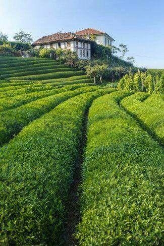 Tea field in Rize. Turkey