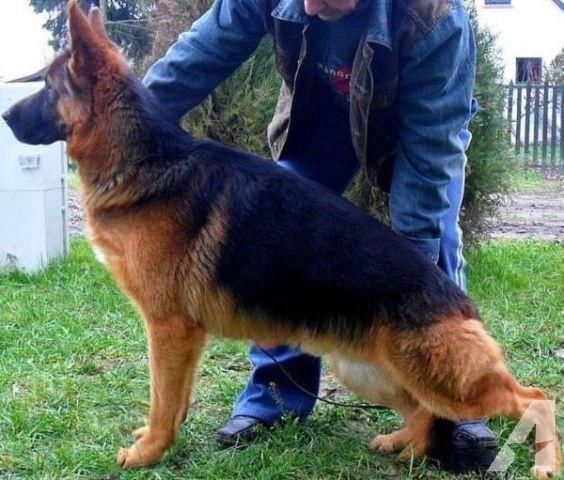 German Shepherd Red | AKC GERMAN SHEPHERD PUPPY~ IMPORTED ~ DEEP RED~ LAST ONE~ PICK PUP for ...