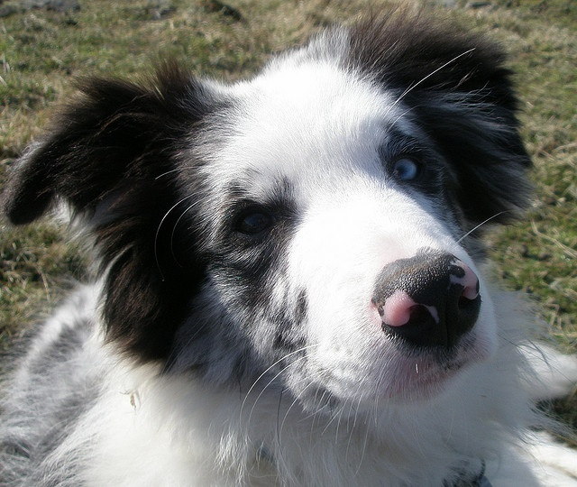 border collie!  blue merle, one blue eye one brown..looks exactly like my bandit!