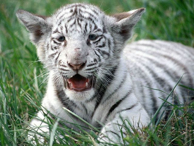 baby white tiger by KungFuStu, via Flickr