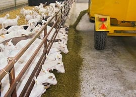 Commercial Dairy Goat Farming With Complete Feed Given To