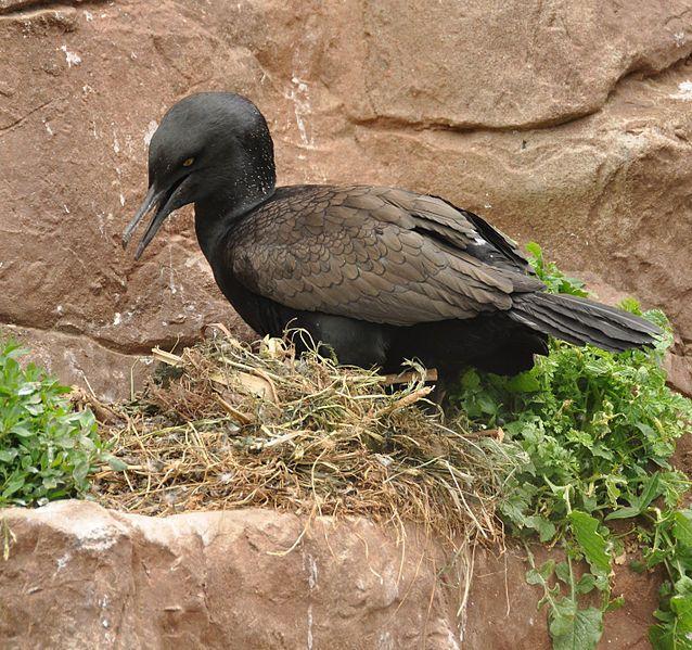 Let's do Some Zoology! - Bank Cormorant (Phalacrocorax neglectus) …also...