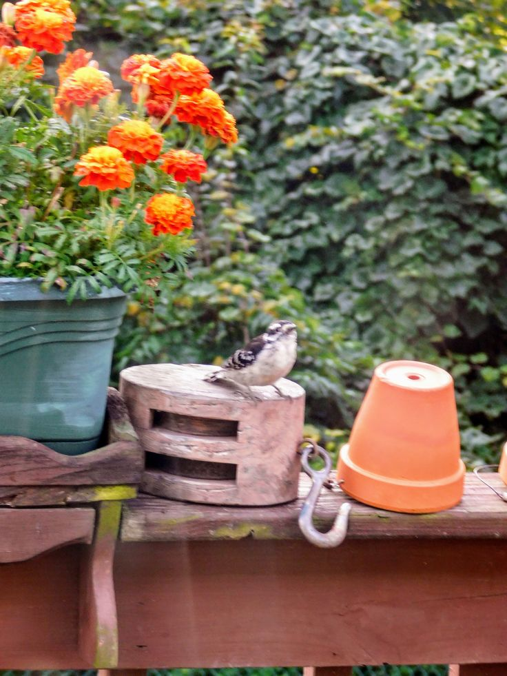 Downy Fledgling / Enjoying a summer day, by the marigolds - Photo by S.Dorman