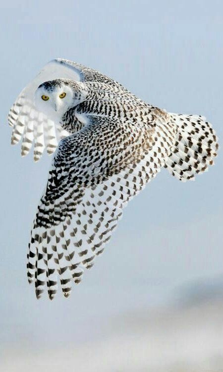 Owl beautiful birds in the nature, variety and live almost everywhere on Earth.…