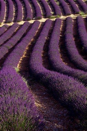 Lavender field (Lavandula angustifolia), Plateau de Valensole, Département Alpes-de-Haute-Provence, France