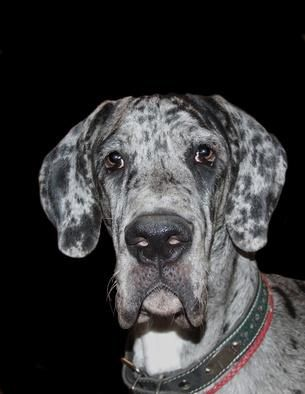 Surprised merle great dane puppy staring at the camera image by velora from Fotolia.com