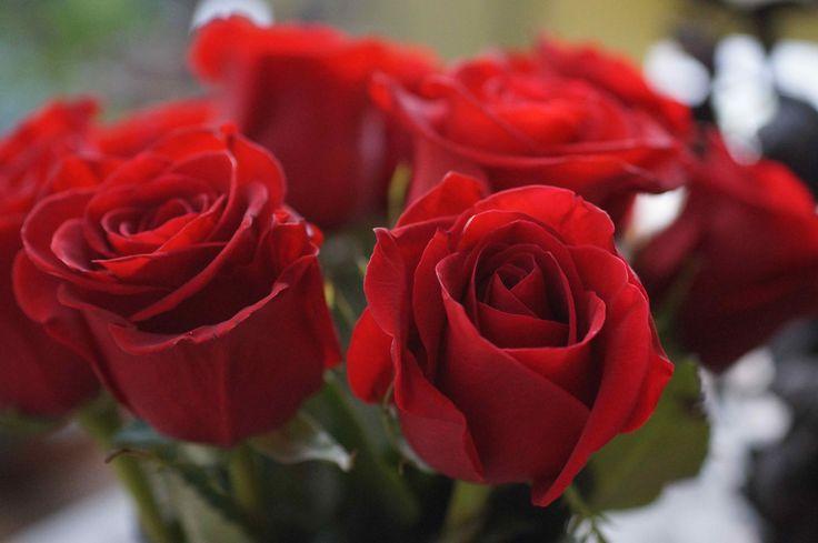 Red roses. CGP©13082014