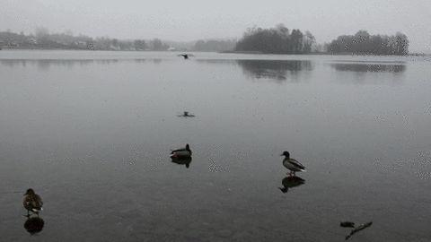 Als Ente elegant auf Eis landen, gif'd | Das Kraftfuttermischwerk