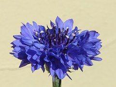 Cornflower, Blue, Flower, Blossom