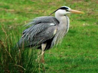 Heron @ Thorney Lakes