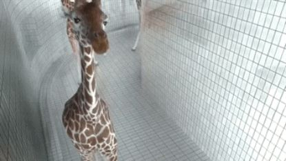 The giraffe who just wanted to stop by and say hello.   61 Images Of Animals That Are Guaranteed To Make You Smile