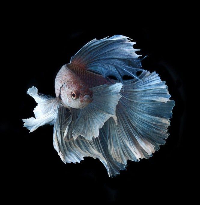 Аквариумная рыбка сиамский петушок. Фотография: Visarute Angkatavanich/Caters News