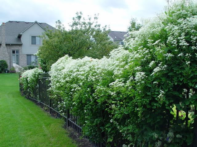 sweet autumn clematis - Has to be, without a doubt, the easiest, fastest maturing, extremely fragrant cover-up vine for the garden.  They bloom profusely and give you bags full of seeds in fall to propagate.  They may be TOO hardy (if that's possible)!!!  LOL  Love them!!!