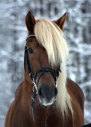 Finnish Horse Stallion.