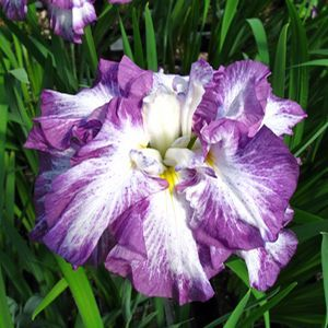 "Iris ensata 'Lion King' has an impressive stature and awesome blooms forming a very regal display for your moist garden areas. 'Lion King' grows to 4' tall with huge, fully double, 7-8"" blooms that open in early summer. Each ruffled petal displays a grape purple edge that wisps softly into the pure white centers and tucked down at the base of each petal is a tiny splash of sunshine yellow. Japanese irises are the latest to bloom, about a month after the Siberian irises."