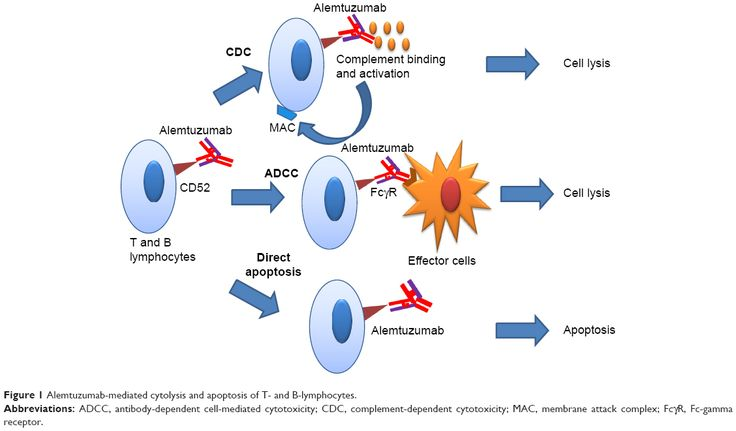 Výsledek obrázku pro alemtuzumab mechanism of action