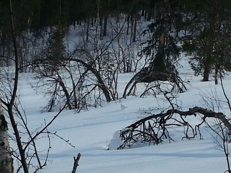 Riekon kanssa lumikenkäilemässä
