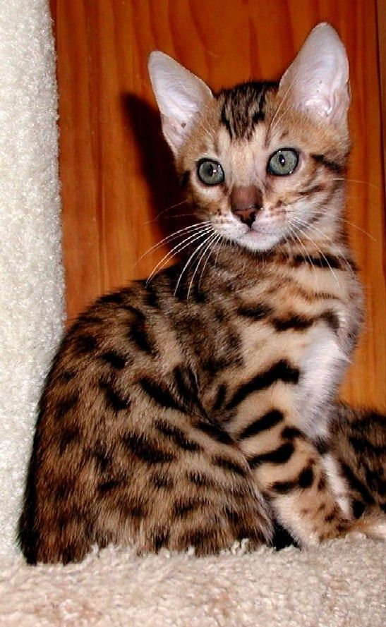 Gold Bengal named Nollie.
