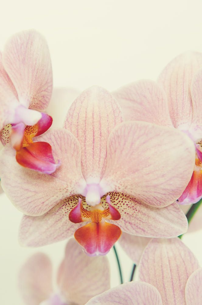Pink Orchid by Des'ola Mecozzi on 500px