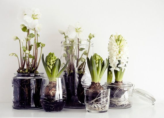Paperwhites and Hyacinths