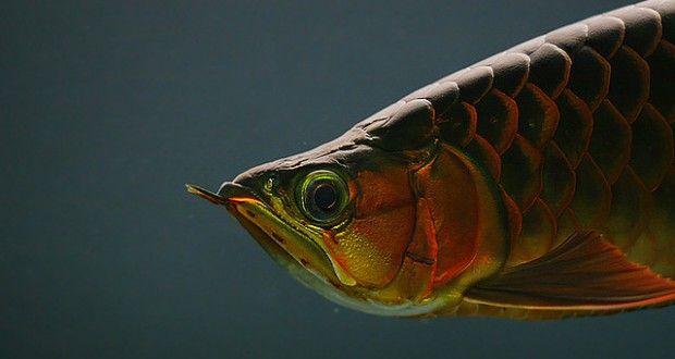Cá rồng Huyết Long cao cấp tại Cá cảnh Thái Hòa
