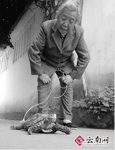"""In Kunming, there was an 84-year-old woman patiently trailing behind her land turtle everyday.  """"I have been walking my turtle for 20 years,"""" the turtle owner, surnamed Liu, told reporters.  A staff of the local animal shelter identified that the turtle is an Impressed Tortoise (Manouria impressa) as a national grade II animal for key protection. If Li give up her pet, the animal shelter will adopt it.  2011-10-12"""
