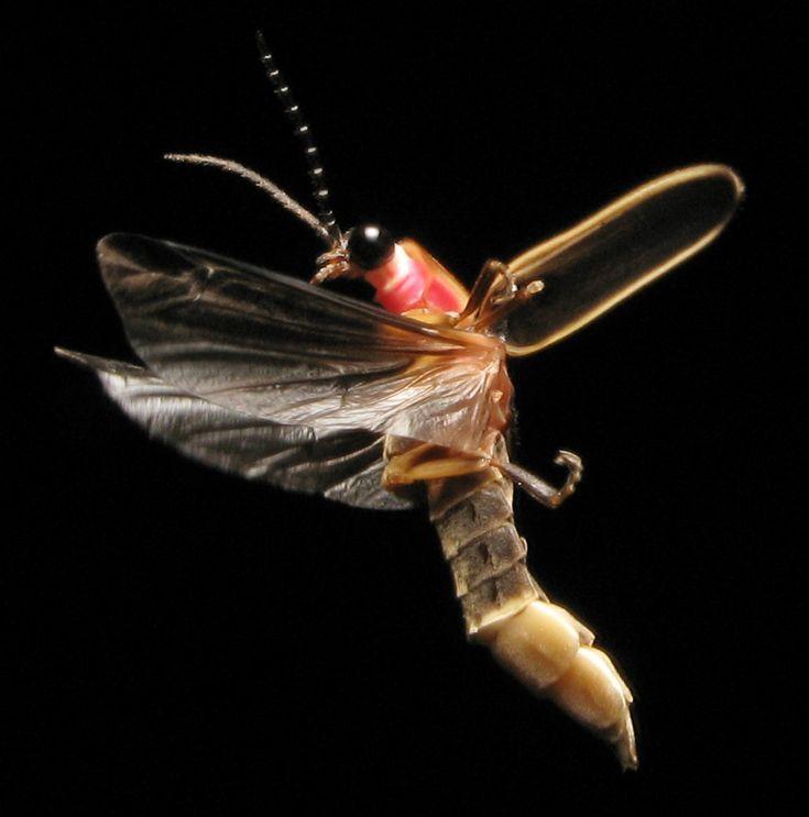 Mejores 9 imágenes de Firefly (Insect) en Pinterest | Insectos ...