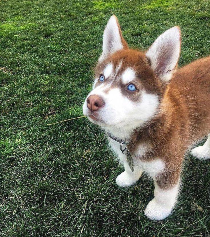 Miniature Husky Red Husky Puppies Husky Dogs Husky Puppy