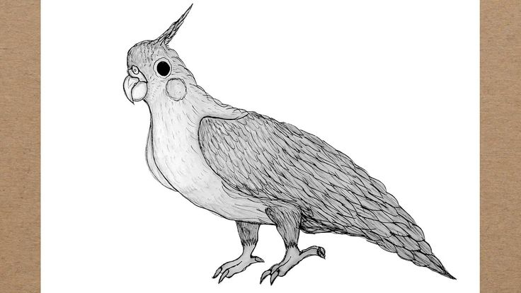 bird pencil cockatoo drawing drawings very draw simple step easy youtu frog