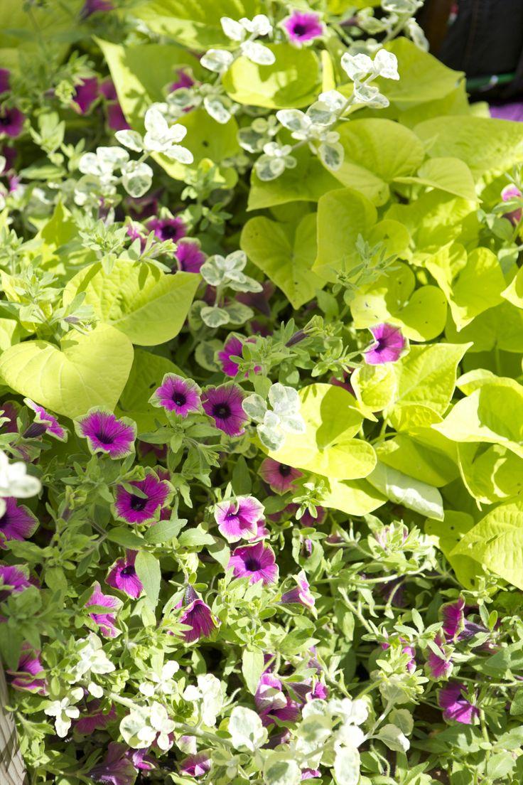 Petunia och batat. Underbar plantering. Sommarblommor i kruka. http://www.blomsterlandet.se/Tips-och-artiklar/Tips-och-artiklar/Tradgard/Sommarplantor/Sommarplantor/Plantera-Sommarplantor-I-Kruka-Med-Blomsterlandet-/?query=sommarplantor&category=Tips-och-artiklar-general
