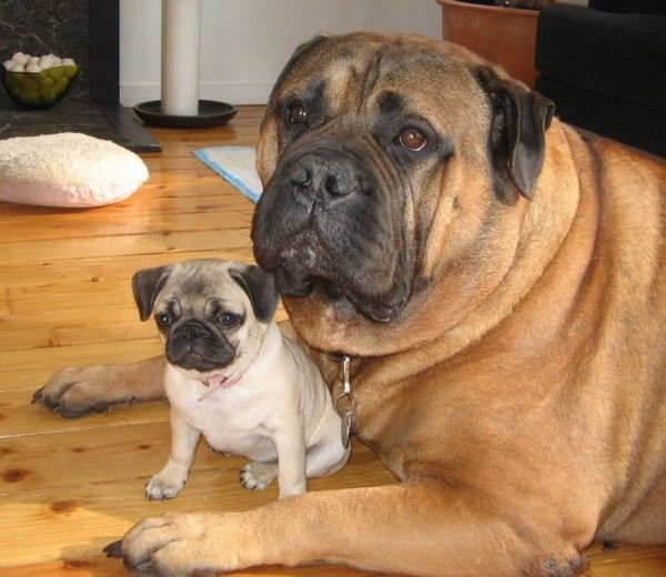 It's like that movie Twins..with dogsDogs Pics, Pugs Puppies, Friends, Funny Dogs, English Mastiff, Baby Animal, Baby Photos, Little Dogs, Big Dogs