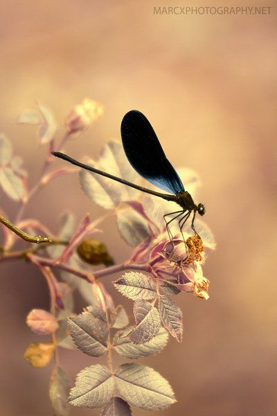✯ Damselfly  by *Djwedo* ✯