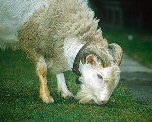 A cross between a sheep and a goat grazes