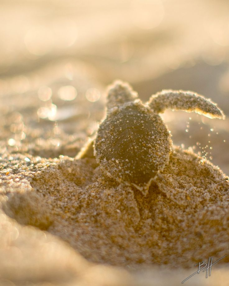 Worked for a Green Turtle conservation programme saving these little blighters