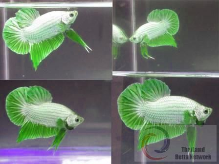 a very rare lime green white betta wee scaly cutie